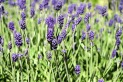 lavender-1485020_960_720